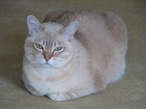 A sleepy Burmilla Cat
