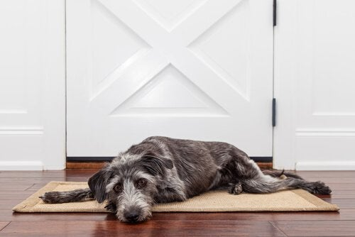 Why Does Your Dog Cry When You Leave?