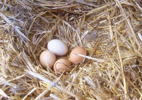 Improve Your Hen's Egg Quality