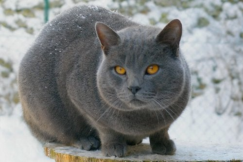 The Beauties of Short-Haired Cats