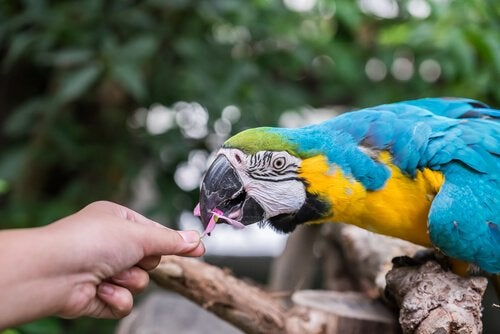 A parrot getting fed by a human