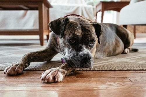 Dog laying on a wooden floor