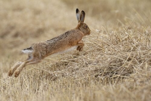 A hare leaping through a field