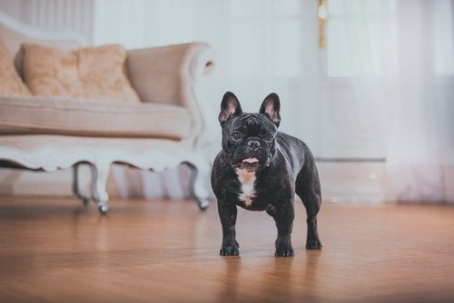A French Bulldog standing in a living room