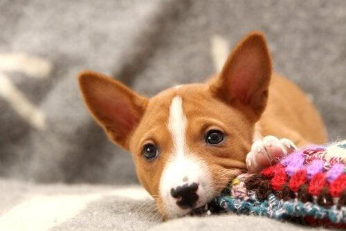 Puppy chewing on a cloth