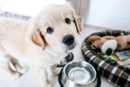 A Golden retriever puppy with his bowl.