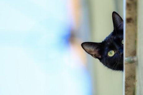 Curious Bombay Cat
