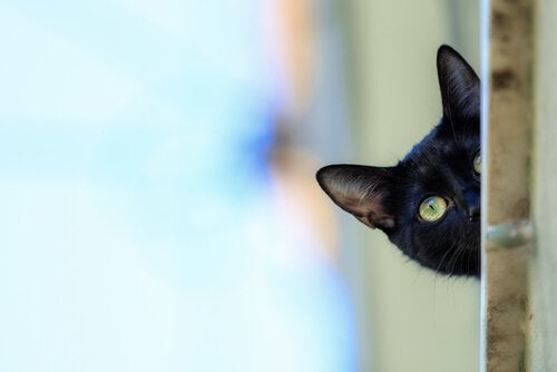 Curious Bombay Cat