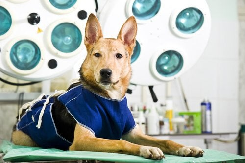 Dog with wobbler syndrome on operating table