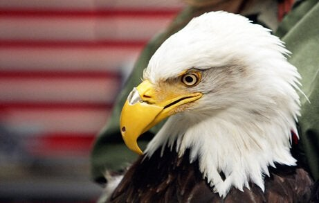 Bald eagle with prostheses