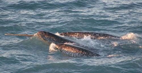 Narwhals: The unicorns of the sea