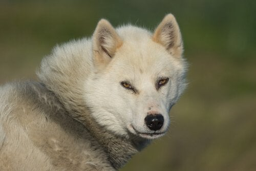 The Greenland Dog