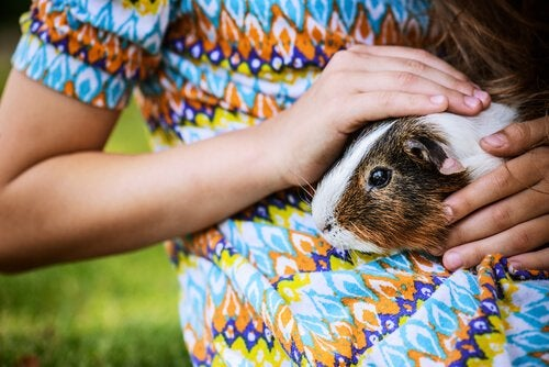 person petting guinea pig after it does a trick right