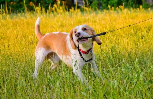 A dog tugging on his leash