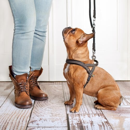 puppy wearing harness and leash looking up at owner