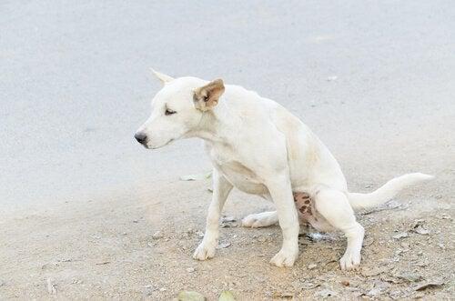 A dog urinating