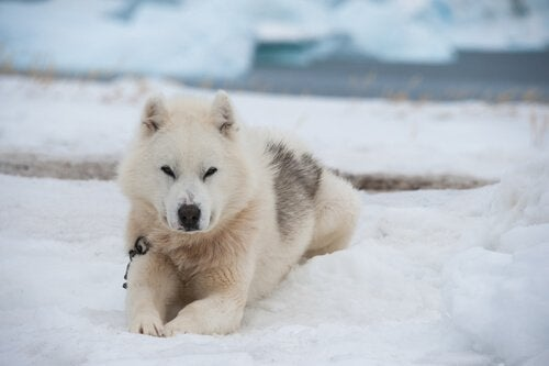 Taking care of a Greenland Dog
