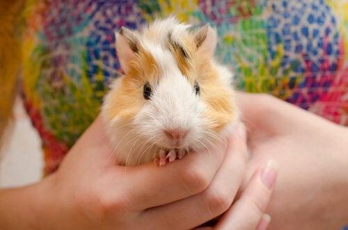 teach guinea pig tricks