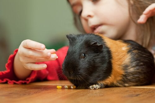 Tricks You Can Teach Your Guinea Pig