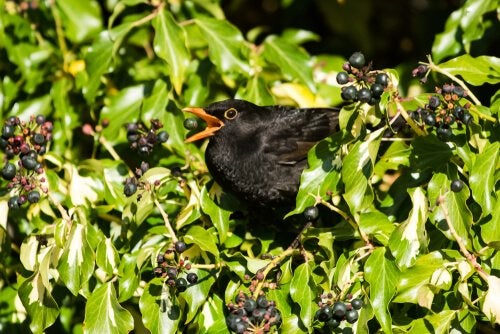 Blackbird in a bush, one of the birds with the prettiest birdsongs
