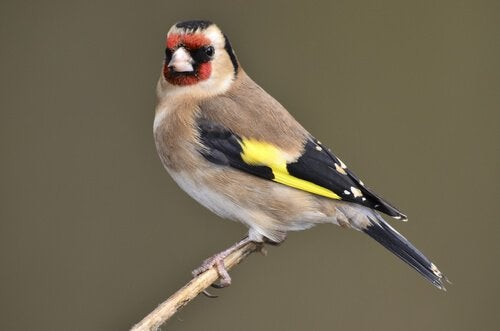 Goldfinch on a small branch
