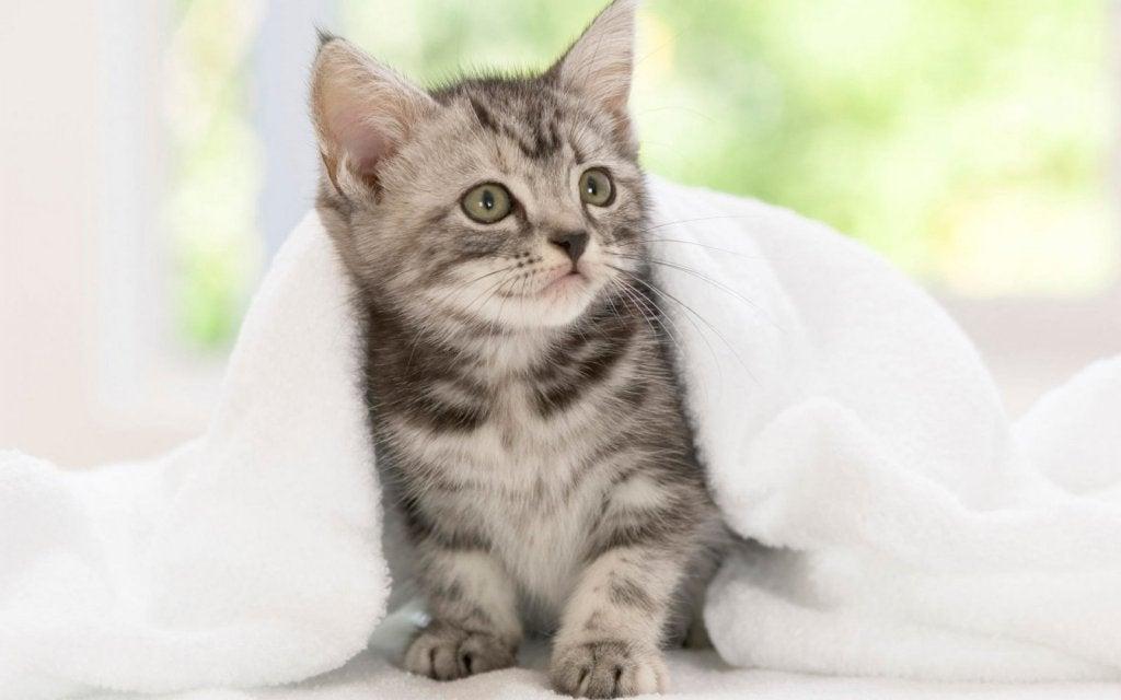 Kitten under a blanket