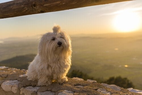 perfect dogs for small apartments: Maltese in front of a sunset