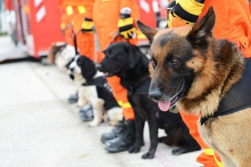 All About Search and Rescue Dogs