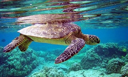 A sea turtle swimming
