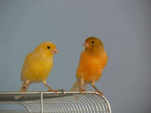 Two canaries together for the purposes of breeding canaries