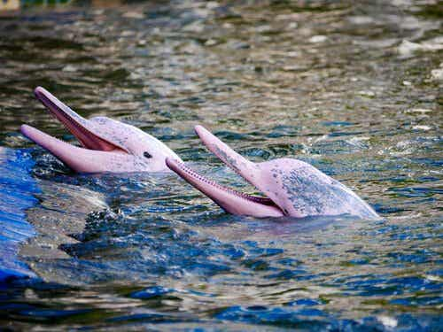 The Amazon Pink River Dolphin: A Fascinating Creature