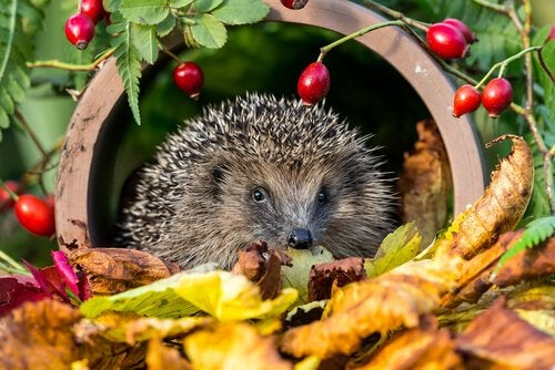 Can you have a hedgehog as a pet?
