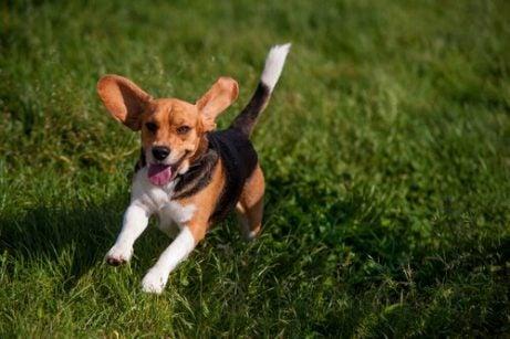 Beagle running through a grass field