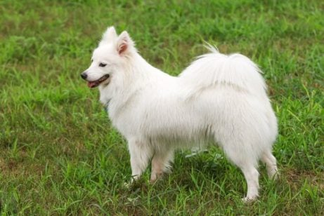 A dog with a coiled tail standing in a field