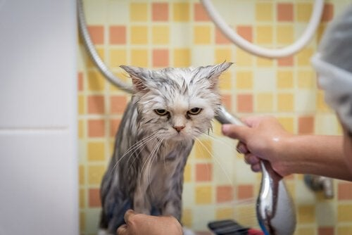 Cat being bathed