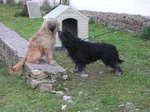 Catalan Sheepdog in a back yard