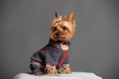 A Yorkie posing for a picture