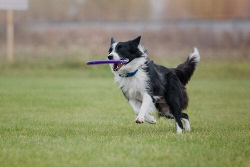 border collie running with a frisbee in its mouth