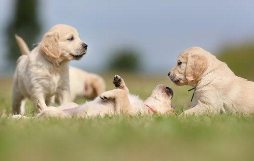 Golden Retriever puppies laying in grass.