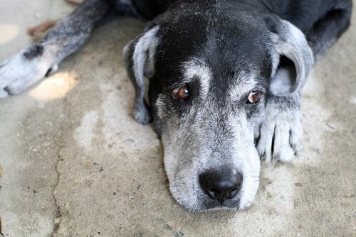 Do with canine cognitive dysfunction