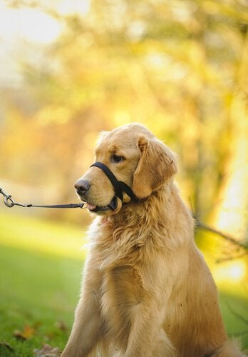 Golden Retriever wearing a Halti leash