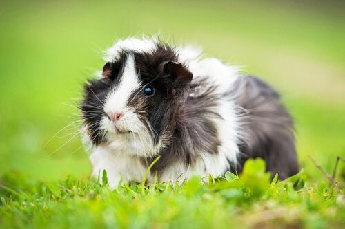 8 Curious Facts about Guinea Pigs