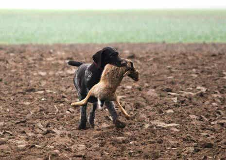 Is Your Dog a Good Hunter?