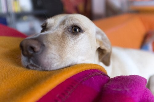 dog resting head on cushion