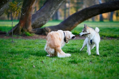 two male dogs fighting over stick