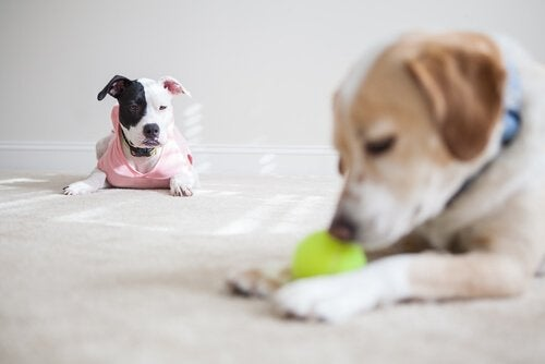 A jealous dog looks another playing with a ball