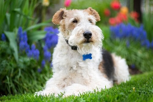 Fox Terrier laying in the grass