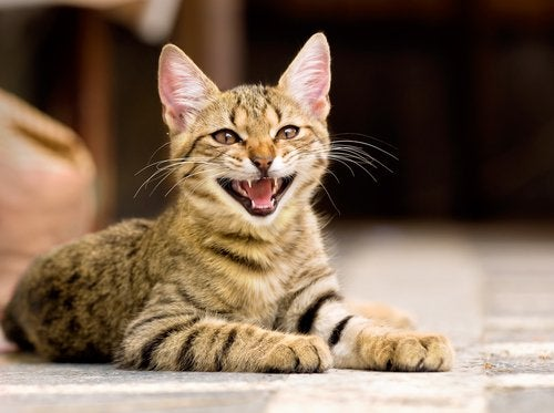 A cat meowing