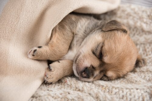 A puppy sleeping in a blanket