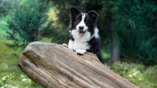 How to Train a Border Collie, One of the Most Intelligent Dog Breeds